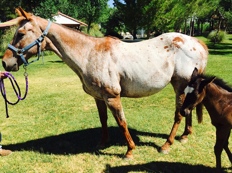Horses for sale - Cha Cha